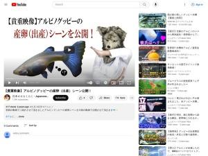 【貴重映像】アルビノグッピーの産卵(出産)シーン公開!